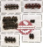 Scientific lot no. 110 Tenebrionidae (28 pcs)