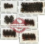 Scientific lot no. 109 Tenebrionidae (35 pcs - 2 pcs A2)