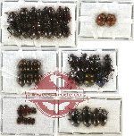 Scientific lot no. 106 Tenebrionidae (42 pcs)