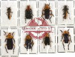 Scientific lot no. 11 Cantharidae (8 pcs A-, A2)