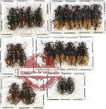 Scientific lot no. 10 Lagriidae (19 pcs A-, A2)