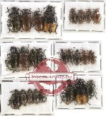 Scientific lot no. 13 Lagriidae (25 pcs)