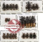 Scientific lot no. 12 Lagriidae (24 pcs)