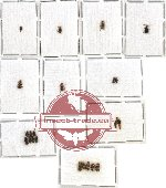 Malachidae Scientific lot no. 1 (22 pcs)