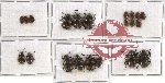Scientific lot no. 12 Endomychidae (21 pcs)