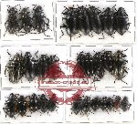 Scientific lot no. 105 Tenebrionidae (29 pcs - 7 pcs A2)