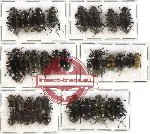 Scientific lot no. 107 Tenebrionidae (35 pcs - 11 pcs A2)