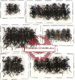Scientific lot no. 108 Tenebrionidae (28 pcs)