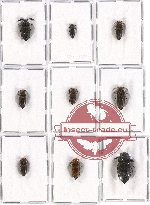 Scientific lot no. 34 Eucnemidae (9 pcs - 1 pc A2)