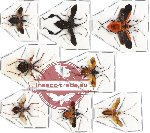 Scientific lot no. 137 Heteroptera (8 pcs - 3 pcs A2)