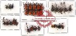 Scientific lot no. 15 Attelabidae (32 pcs - 5 pcs A2)
