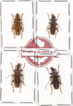 Scientific lot no. 3 Oedemeridae (4 pcs - 1 pc A2)