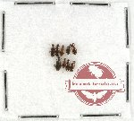 Anthicidae Scientific lot no. 20 (9 pcs)