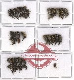 Scientific lot no. 11 Mordellidae (38 pcs)