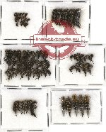 Scientific lot no. 14 Mordellidae (71 pcs)