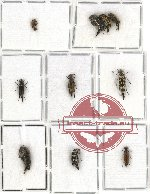 Scientific lot no. 15 Mordellidae (10 pcs)