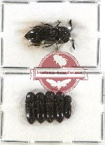 Scientific lot no. 38 Eucnemidae (6 pcs)