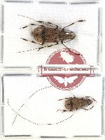 Anthribidae scientific lot no. 45 Apolecta tonkiniana (2 pcs)