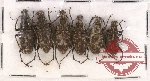 Anthribidae scientific lot no. 42 Acorynus spp. (6 pcs)