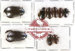 Dytiscidae Scientific lot no. 33A (9 pcs)