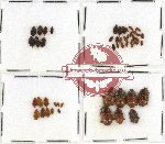 Scientific lot no. 22 Nitidulidae (50 pcs)
