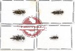 Scientific lot no. 17 Mordellidae (Hoshihananomia spp.) (4 pcs)