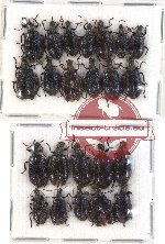 Scientific lot no. 15 Lagriidae (23 pcs)