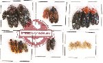 Scientific lot no. 10A Orthoptera (19 pcs)