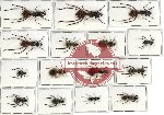 Scientific lot no. 2 Formicidae (15 pcs - 3 pcs A2)