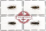 Scientific lot no. 16 Mordellidae (4 pcs - 1 pc A2)
