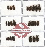Scientific lot no. 138 Heteroptera (Aradidae) (24 pcs A, A-, A2)