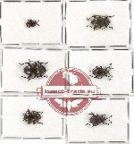 Scientific lot no. 15A Endomychidae (6 pcs)