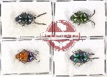 Scientific lot no. 144 Heteroptera (Scutellarinae) (4 pcs - 2 pcs A2)