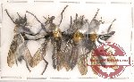 Scientific lot no. 1 Diptera (4 pcs)