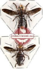 Scientific lot no. 4 Diptera (2 pcs)