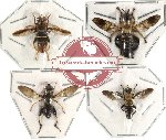 Scientific lot no. 5 Diptera (4 pcs)