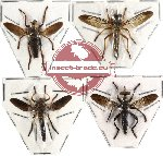 Scientific lot no. 6 Diptera (4 pcs)