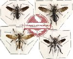 Scientific lot no. 7 Diptera (4 pcs)