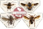Scientific lot no. 9 Diptera (4 pcs) (SPREAD)