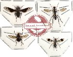 Scientific lot no. 10 Diptera (4 pcs) (2 pcs A2)