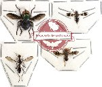 Scientific lot no. 11 Diptera (4 pcs) (A2 leg)
