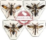Scientific lot no. 13 Diptera (4 pcs)