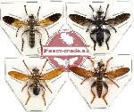 Scientific lot no. 14 Diptera (4 pcs) (1 pc A2)