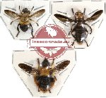 Scientific lot no. 15 Diptera (3 pcs)