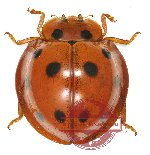 Coccinelidae sp. 3