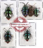 Scientific lot no. 145 Heteroptera (Scutellarinae) (6 pcs - 4 pcs A-, A2)