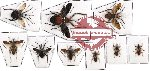 Scientific lot no. 141 Heteroptera (Reduviidae) (9 pcs - 1 pc A2)