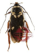 Blattodea sp. 21 (10 pcs)