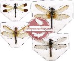 Scientific lot no. 8 Odonata (4 pcs - 1 pc A2)