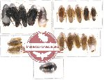Scientific lot no. 1 Blattodea (18 pcs) (A2)